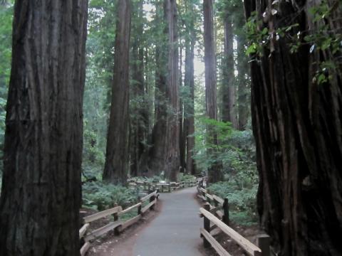 Photo : Forêt primaire de Muir Wood